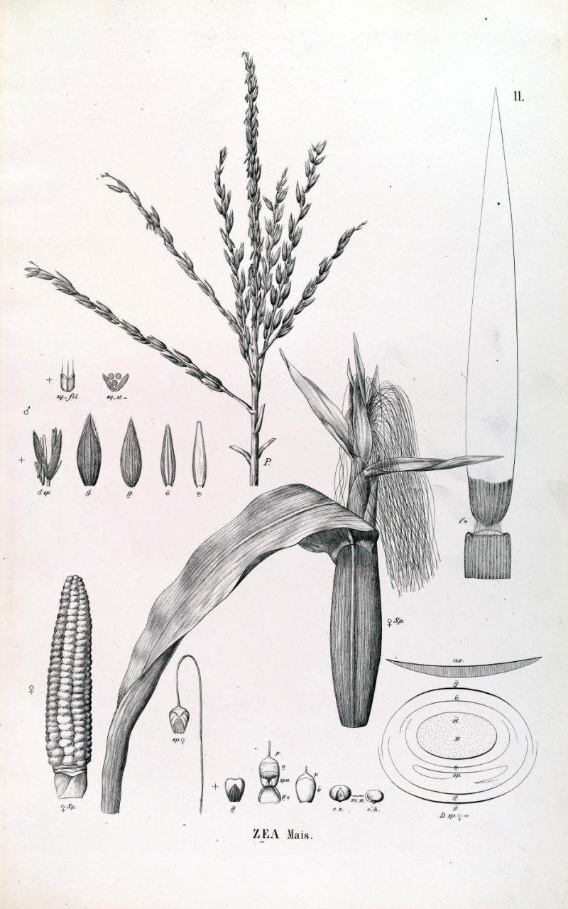 Maize as depicted in by Von Martius in 'Flora Brasiliensis' (1840) - http://florabrasiliensis.cria.org.br/search?taxon_id=25620